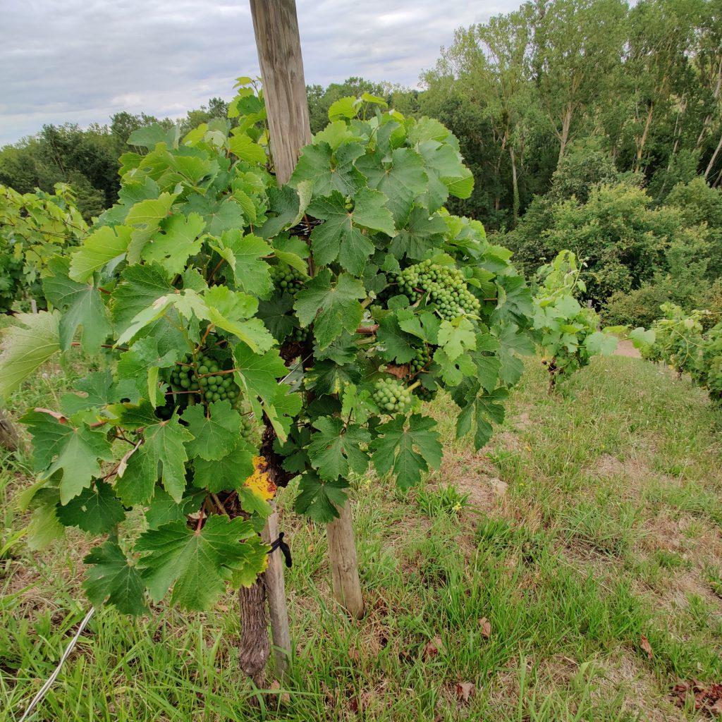 Les vins de la Loire - Le raisin du Domaine Belargus – Livraison de vins d'exception à domicile